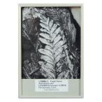 FB125  シダ植物化石(アレソプテリス)--2160