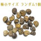 アンモナイト化石 アソート 1個 モロッコ産