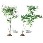 オンリーワン 植栽・樹形美 ハウチワカエデ UN3-J501