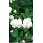 オンリーワン 長尺ツル性植物 モッコウバラ(白) WP6-TMKBS