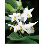 オンリーワン 長尺ツル性植物 ツルハナナス WP6-TTHN