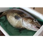 〔送料無料〕北海道産生真鱈(タラ)4kg以上(1尾)〔E〕北港直販〔同梱不可〕〔着日指定不可〕たら