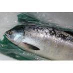 〔送料無料〕北海道産時鮭(ときしらず)3kg〜4kg☆北港直販☆しゃけ・シャケ〔同梱不可〕〔代引き不可〕〔着日指定不可〕