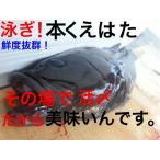 鹿児島産 泳ぎ活〆養殖 本くえはた1尾(約3kgサイズ)約6人前〜8人前