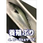 養殖ぶり 1尾 約4.5〜5kg 愛媛県産他