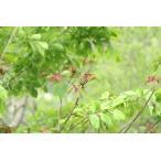 アカメガシワ(赤芽槲)苗木 30〜50cm前後