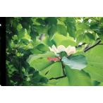 ホオノキ(朴の木)苗木 25〜50cm前後