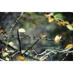 カツラ(桂)苗木 30〜50cm前後