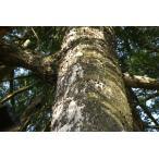 カヤノキ(榧の木)苗木「庭木」「針葉樹」 30〜50cm前後