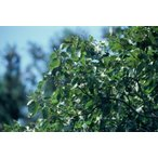 ケンポナシ(玄圃梨)苗木 30〜50cm前後