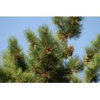 クロマツ(黒松)苗木「針葉樹」 30〜50cm前後