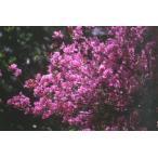 ミツバツツジ(三葉躑躅)苗木「庭木」 30〜50cm前後