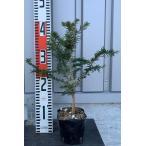 ショッピングツリー モミノキ(樅の木)苗木 20〜40cm前後