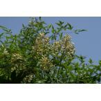 ナンテン(南天)苗木「常緑樹」 30〜50cm前後