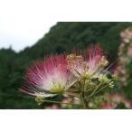 海外ではパラソルツリーとも呼ばれ人気が高い!