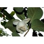 オオヤマレンゲ(大山蓮華)苗木「庭木」 20〜40cm前後