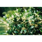 シキミ(樒)苗木「常緑樹」 20〜50cm前後