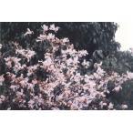 タムシバ苗木「庭木」 30〜50cm前後