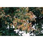 ウラジロノキ(裏白の木)苗木 30〜50cm前後