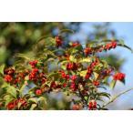 ウメモドキ(梅擬)苗木「庭木」 30〜50cm前後