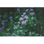 ヤマアジサイ(山紫陽花)苗木「庭木」 30〜50cm前後