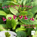 赤茎サラダほうれん草 栽培期間中農薬不使用 1束約100g ※内側の小さい葉の部分が切ってある場合があります
