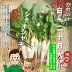 白長二十日大根 栽培期間中農薬不使用 1束6本以上 ※葉は多少切っている場合があります