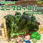 ミニブロッコリー  栽培期間中農薬不使用 約150g