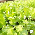 ベビーリーフレタス 栽培期間中農薬不使用・化学肥料不使用 1袋♪