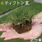 ティフトン芝 ポット苗  (25苗) 約5平米分 キューブ苗 ティフトン419 芝生 校庭緑化 園庭 スポーツターフ