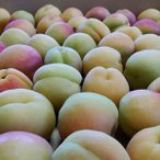 【予約販売 出荷開始予定6月25日頃】相沢農園 信州産あんず 信州大実(5kg)