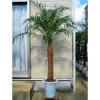 フェニックスロベレニー 9号Mサイズ (シンノウヤシ) 東京オリンピックの記念樹 観葉植物 インテリア 開店祝い 新築祝い シンボルツリー
