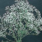 花たね 宿根かすみ草 1袋(250mg)