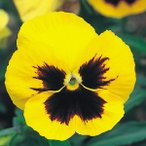 花たね パンジー 芯黒黄花 1袋(60mg)