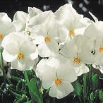 種 花たね ビオラ ホワイト 1袋(60mg)/タネ たね