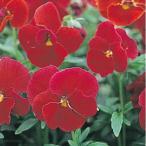 花たね ビオラ スカーレット 1袋(60mg)