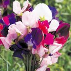 種 花たね 芳香性スイートピー混合 1袋(800mg)