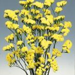 種 花たね スターチス イエロー 1袋(100mg) / 花種 花の種 はなたね リモニウム リモニューム Limonium sinuatum ドライフラワー