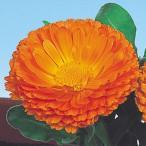 花たね キンセンカ オレンジキング 1袋(700mg)