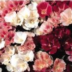 種 花たね ゴデチア美色混合 1袋(200mg)
