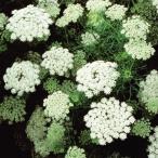 種 花たね ホワイトレースフラワー 1袋(150mg) / 花種 花の種 はなたね 切花向き 切花向き花たね