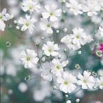 花たね 白花かすみ草 1袋(150mg)