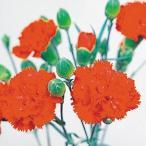 種 花たね カーネーション エティセラント 1袋(200mg)
