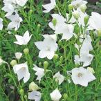 花たね キキョウ 白 1袋(60mg)