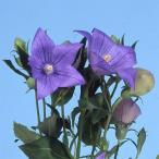 花たね キキョウ 紫 1袋(60mg)