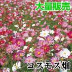 花たね 大量たね コスモス畑 1袋(100g)