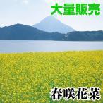 種 花たね 大量たね 花菜 春咲花菜 1袋(100ml入)/タネ たね