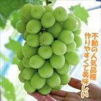果樹苗 ブドウ シャインマスカットPウイルスフリー苗 1株