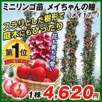 果樹苗 リンゴ(バレリーナRツリー) メイちゃんの瞳R(メイ17P) 1株