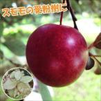 果樹苗 スモモ ハリウッド(スモモ受粉樹) 1株